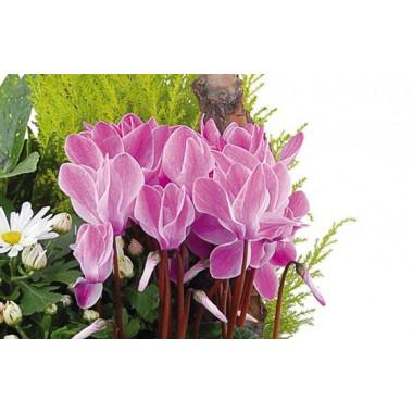 Fleurs en Deuil | vue sur de magnifiques cyclamen fuchisia de la coupe de plante infini