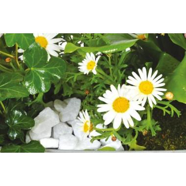 Fleurs en Deuil | vue sur les anthémis blancs de la jardinière de plantes roses & blanches Calypso