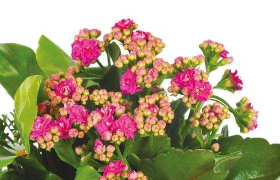 Fleurs en Deuil |vue sur le kalanchoé rose de la jardinière de plantes roses & blanches Calypso