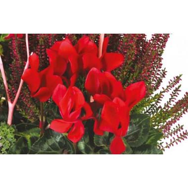 """Fleurs en Deuil  vue sur un cyclamen rouge de la Composition de plantes deuil """"Morphée"""""""