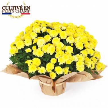Fleurs en Deuil   Image de la coupe de chrysanthème multifleurs jaune