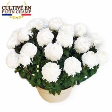 Fleurs en Deuil  Image du chrysanthème Boule Blanc